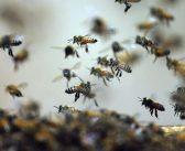 Will the Honeybee Survive?