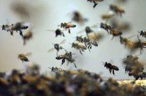 Flight of the honeybees. (Doron Zucker)